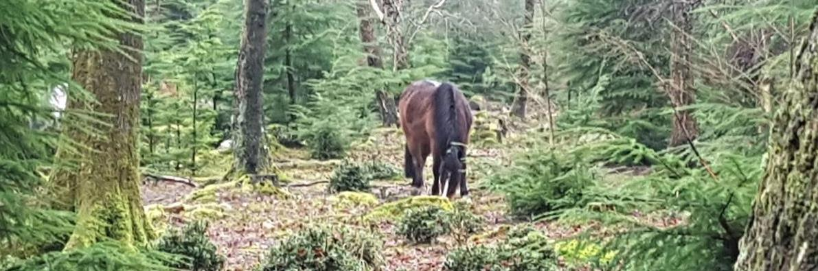 New Forest Pony Near Brockenhurst