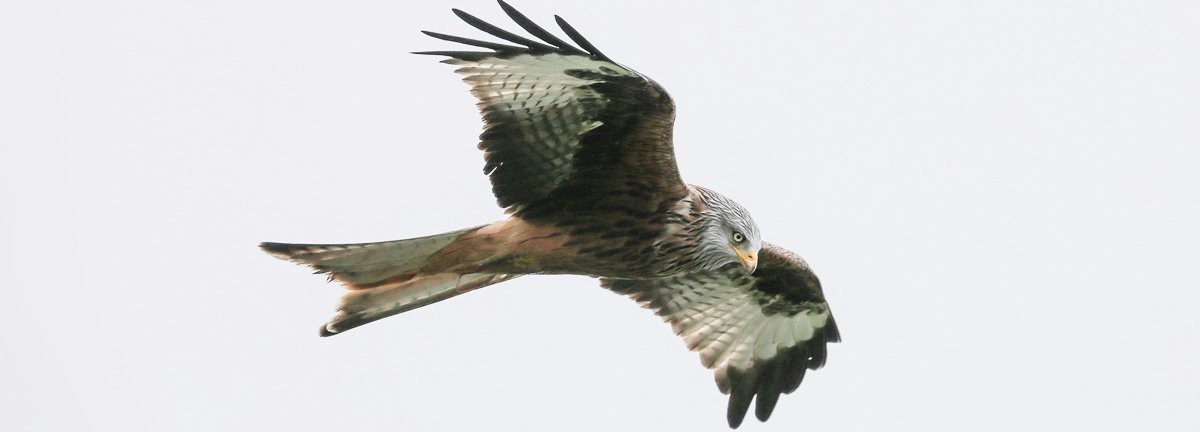 Red Kite Borth West Wales